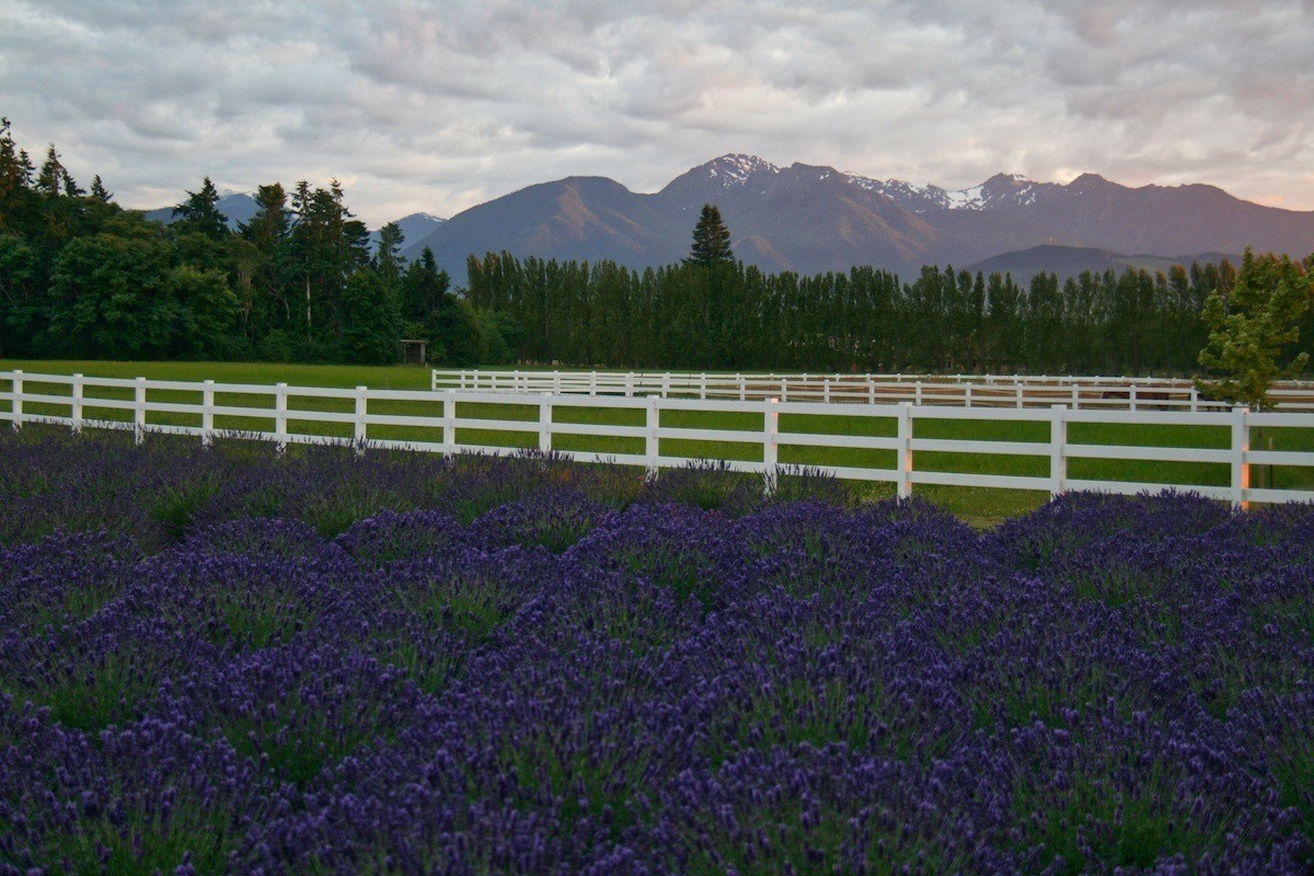 Lavender in front of the Olympic Mountains during an Olympic Peninsula road trip: Photo by: Mike Shubic of MikesRoadTrip.com