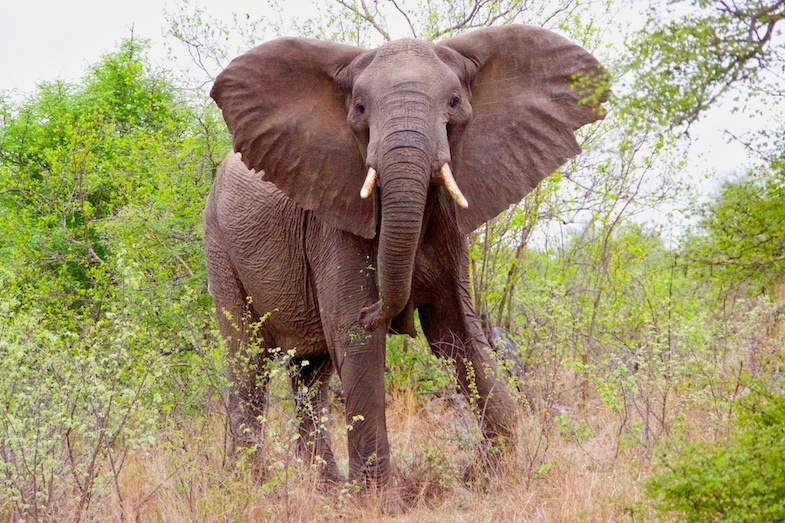 Elephant in kruger national park by Carla Lewis