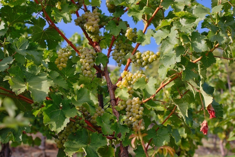 South African road trip wine grapes