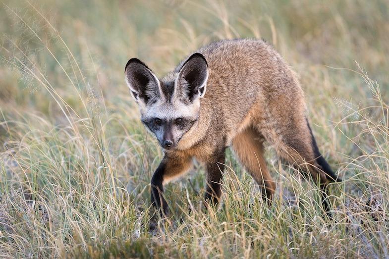 Bat ear fox in Central Kalahari