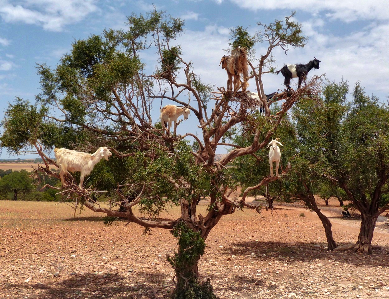 Goats on Trees from Marrakesh to Essaouira, Morocco is indeed an odd roadside attraction