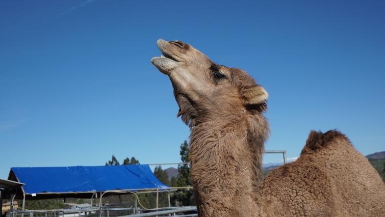 Camel at Sugarplum Zoo and Chocolates in Temecula