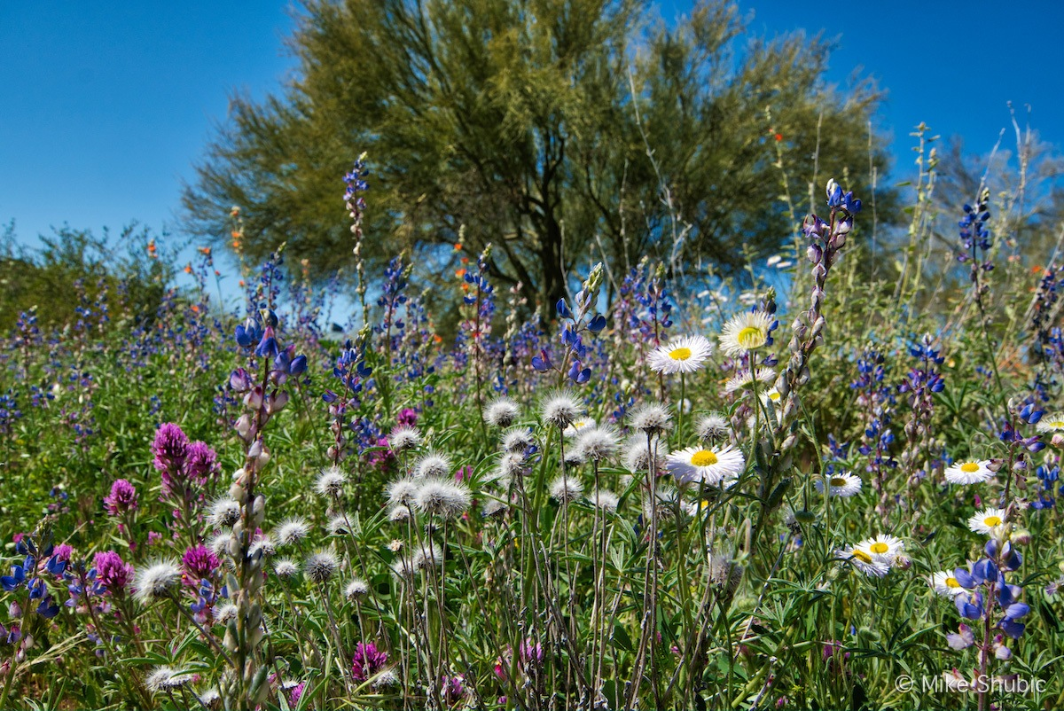 Arizona Wildflowers on Thompson copy.jpg