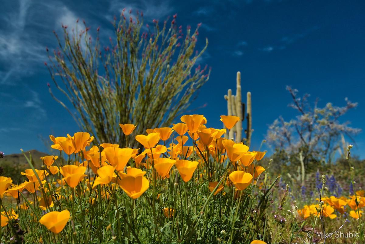 Close up Poppies by MikesRoadTrip.com