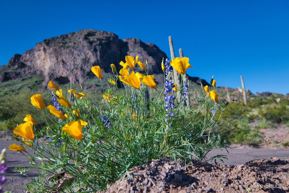 Arizona Wildflowers at Picacho Peak State Park by MikesRoadTrip.com