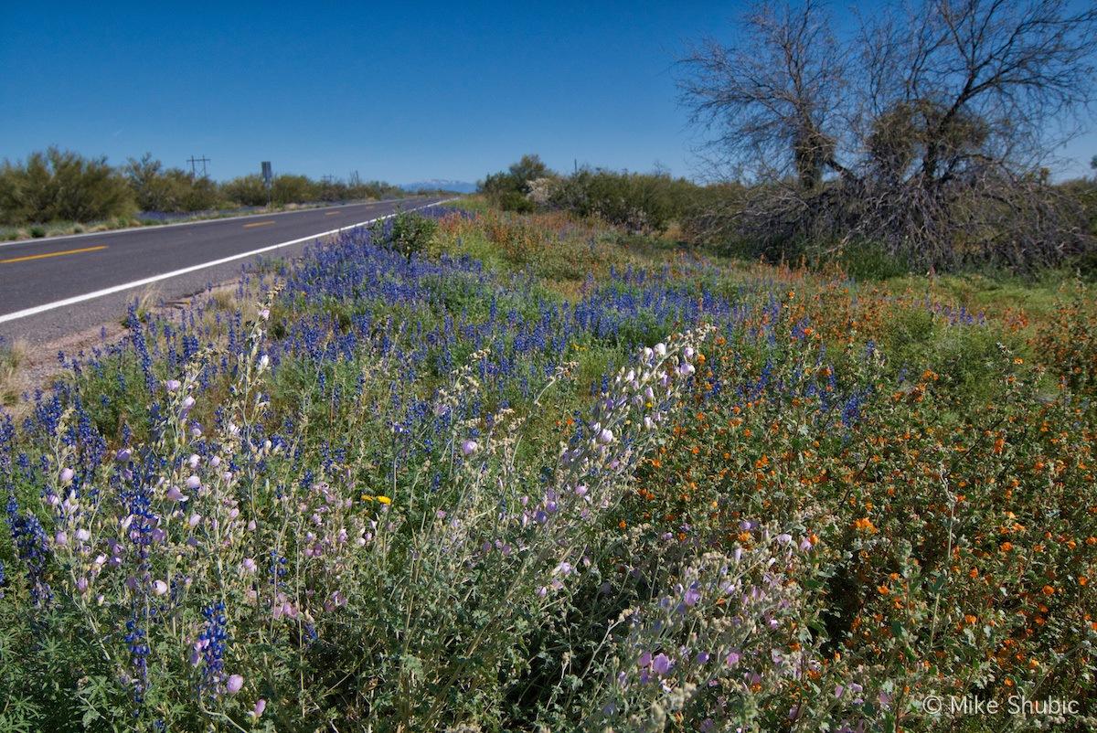 Arizona Wildflowers along Hwy 79