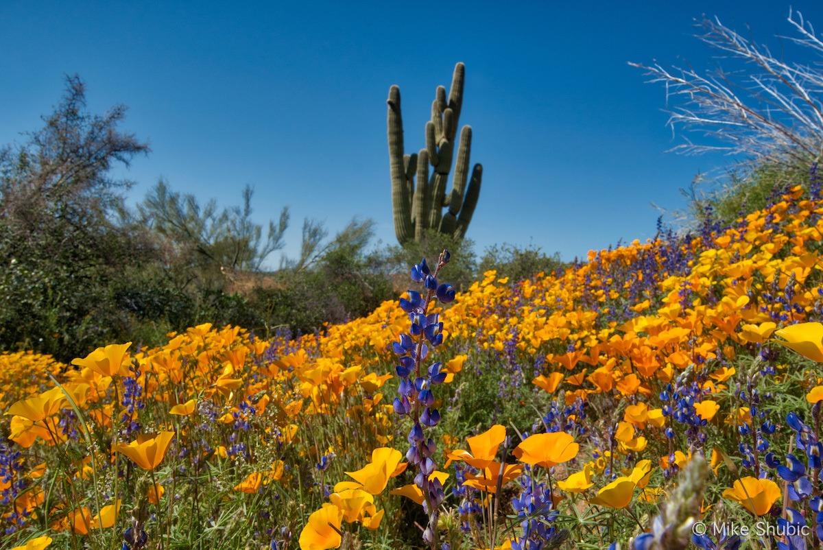 Arizona Wildflowers near Bartlett copy.jpg