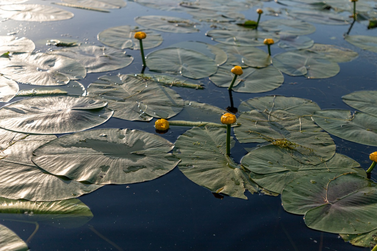 Lilly pads in the Delta