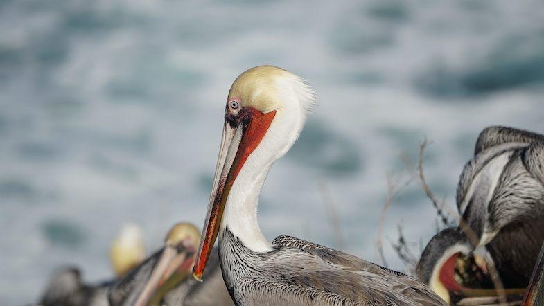 Pelican in La Jolla